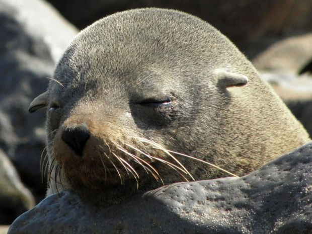 seal-sleep-lazy-animal-world-nature-namibia