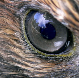 Red-tailed hawk eye