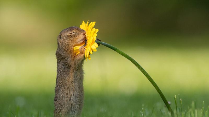 Squirrel smelling flower