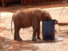 Little Nkala does not know how to use his trunk to drink!