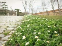 Daisies in the Yıldız Parkı