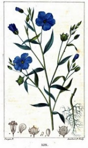 Flax from Flore Medicale Volume 5 by Chaumeton et al 1820