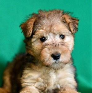 Cucciolo di Lakeland terrier