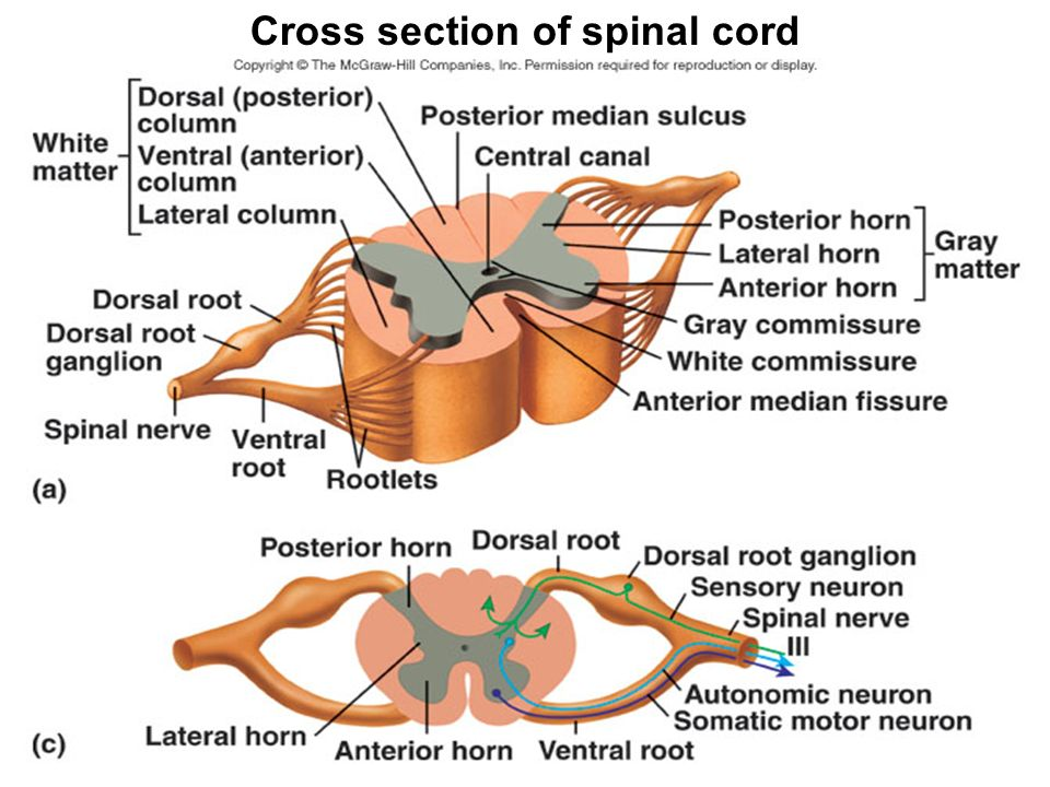 Gray Matter White Matter Spinal Cord Cross Section