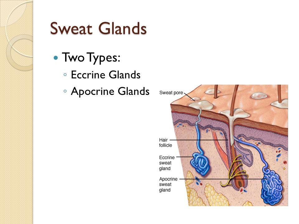 Eccrine Glands Location Body