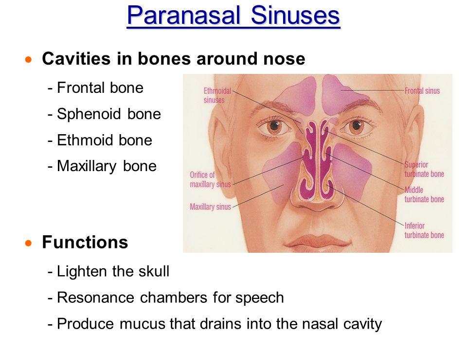 Pharynx And Epiglottis Function