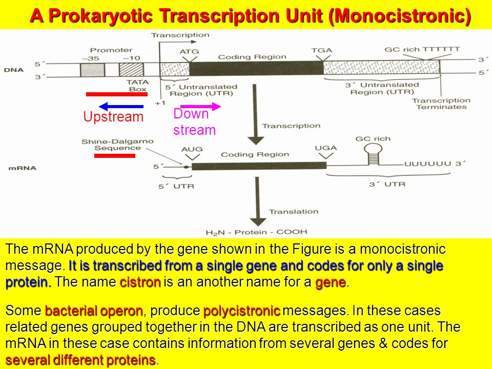 Sequence Mrna Dna Produced