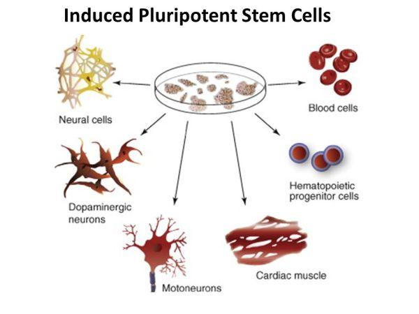 Stem Cells. - ppt video online download