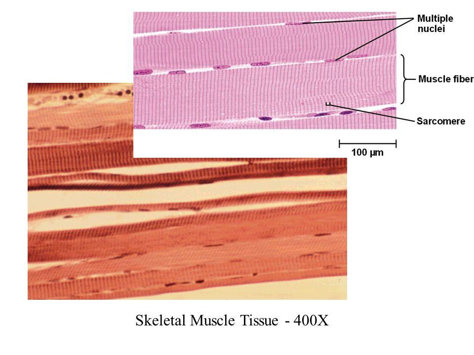 Cardiac Muscle Tissue 400x