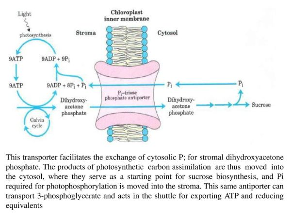 Photosynthetic organisms trap solar energy and form ATP ...