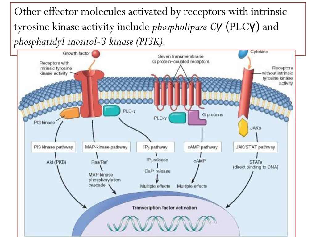 Kinase Kinases Receptor Protein Acts Through And Tyrosine