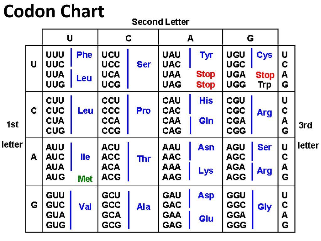 Codons Chart