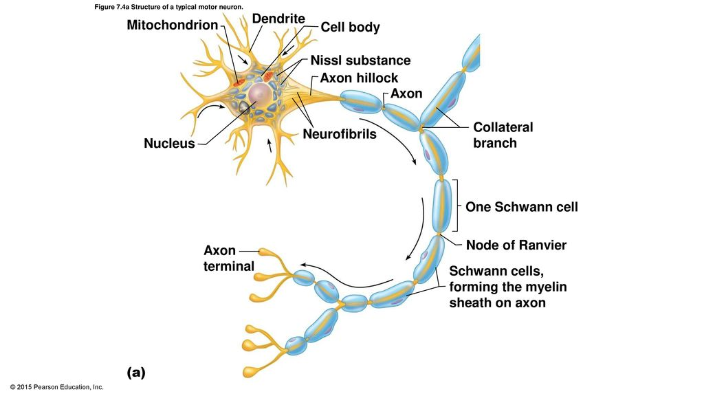 A typical mtor neuron diagram product wiring diagrams exelent motor neuron anatomy collection anatomy and physiology rh stockmarketresources info main parts of a neuron motor neuron diagram ccuart Choice Image