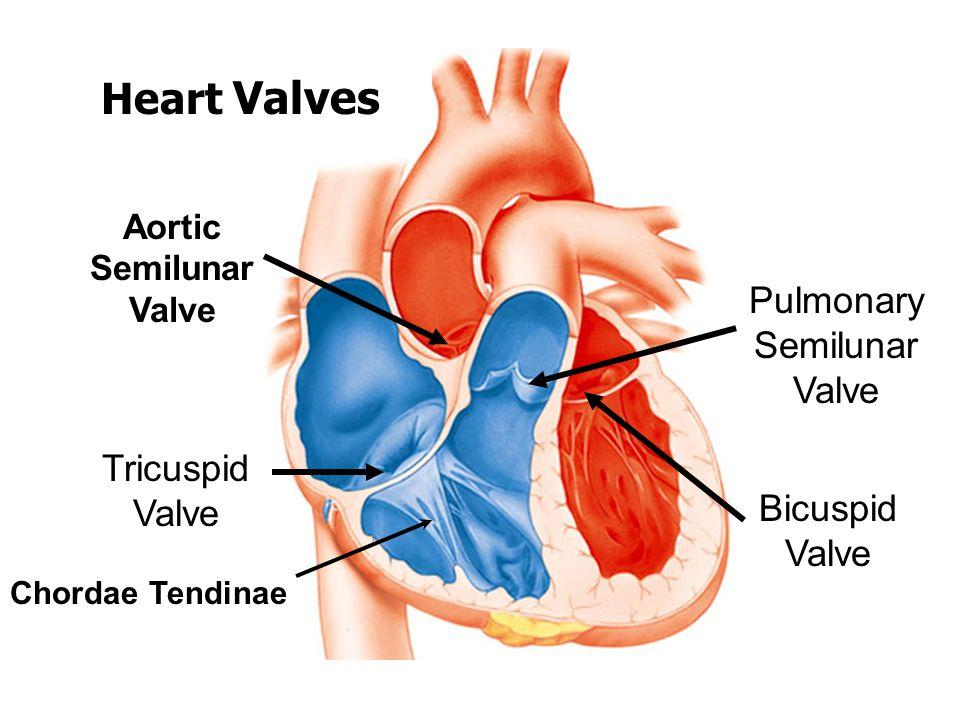 Bicuspid Tricuspid Heart Valves Diagram - House Wiring Diagram Symbols •