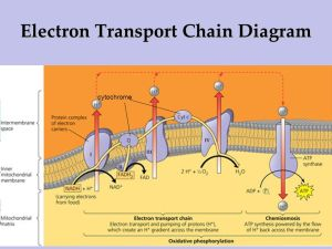 IB Biology 37 Cell Respiration  ppt download