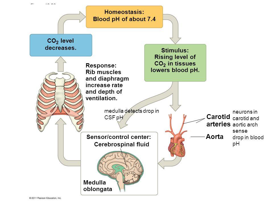 Blood Pressure Homeostasis And Ph
