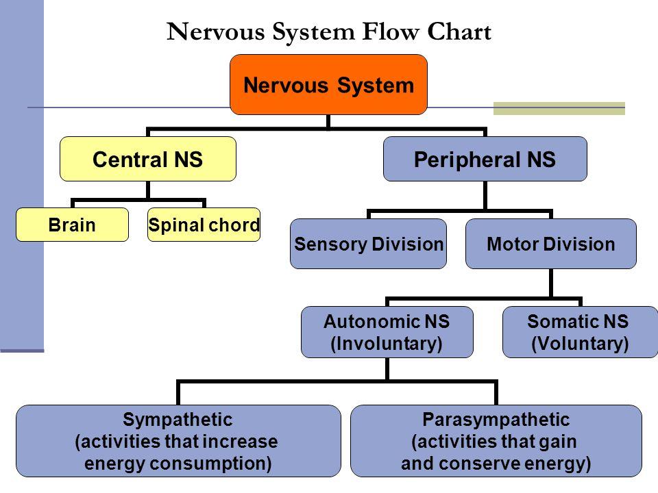 Flow the nervous system diagram auto electrical wiring diagram flow chart of nerves diagram auto electrical wiring diagram u2022 rh wiringdiagramcenter today basic nervous system diagram autonomic nervous system diagram ccuart Image collections