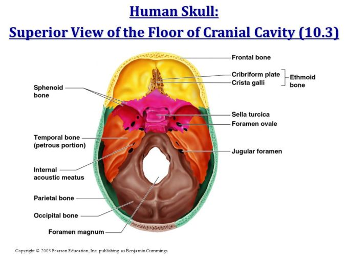 Floor Of Cranial Cavity Diagram Wikizie