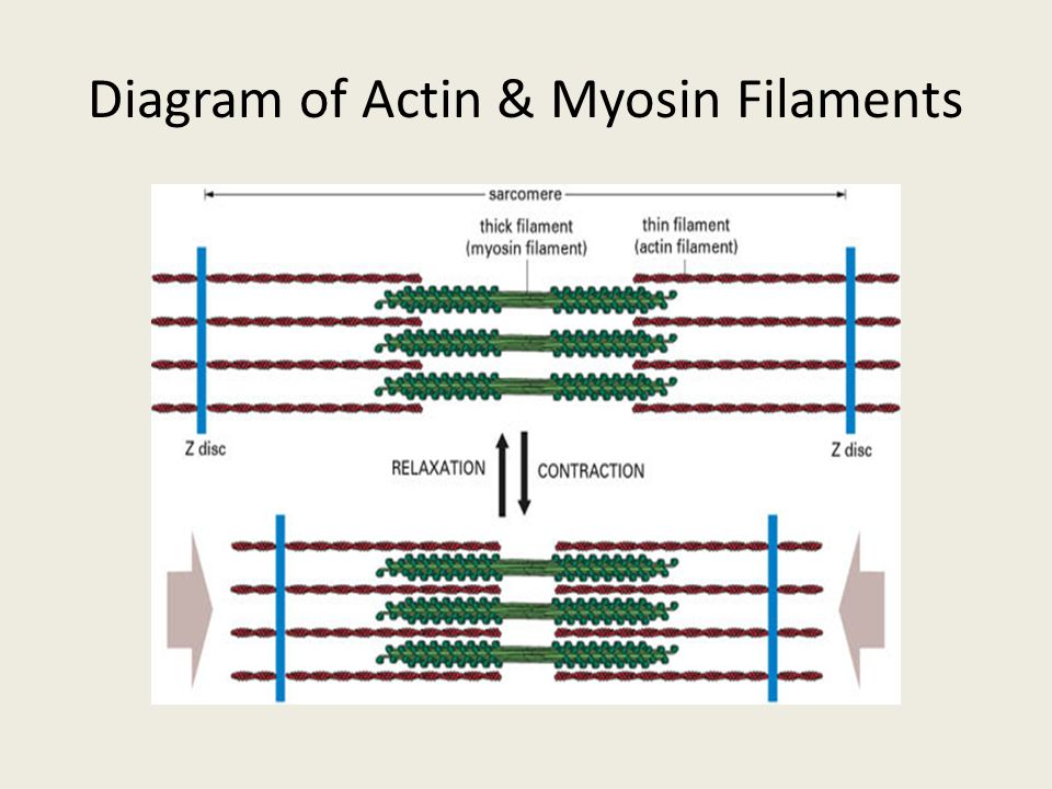 Neuromuscular Junction Acetylcholine With Diagram