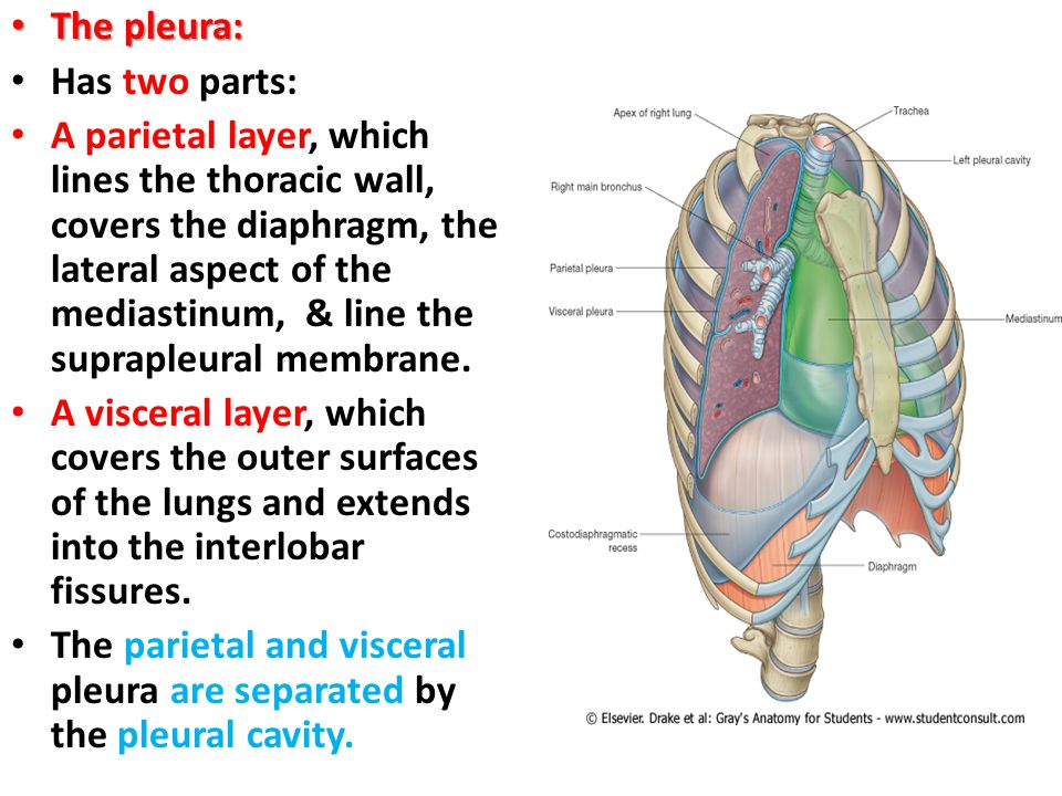 Pleural Space Anatomy Choice Image - human anatomy diagram organs