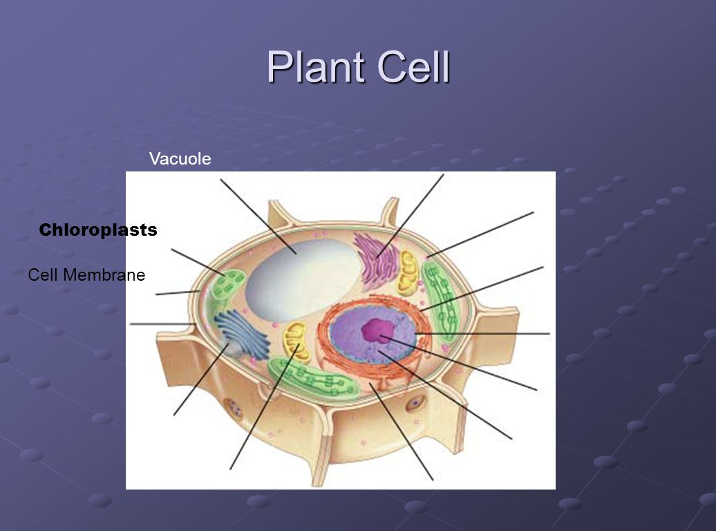 Cell Organelles Cramer Ppt Video Online Download