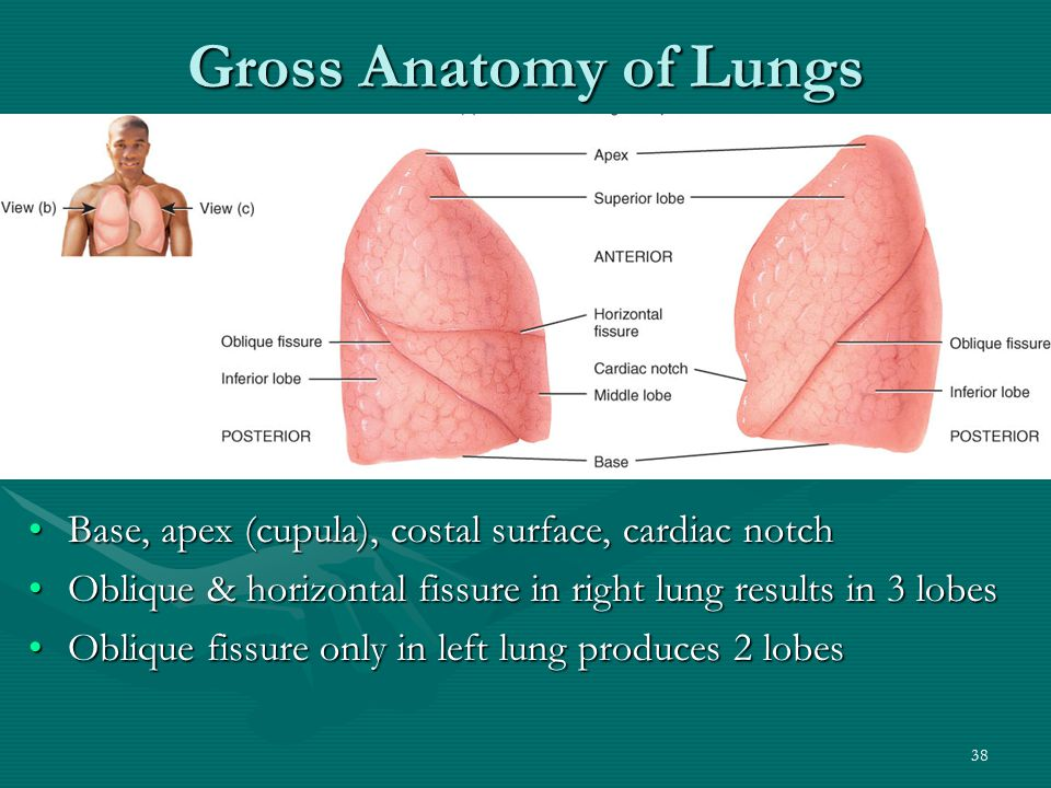 Fantastic Lung Fissure Anatomy Pictures - Anatomy And Physiology ...
