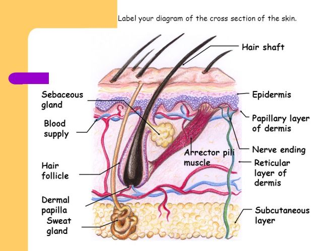 Structure of nail anatomy image collections human body anatomy label the diagram structure of cross section skin and nail best ccuart Images
