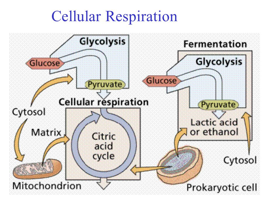 Enzymes Metabolism Amp Cellular Respiration Photosynthesis