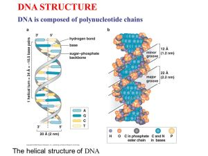 DNA STRUCTURE DNA is posed of polynucleotide chains