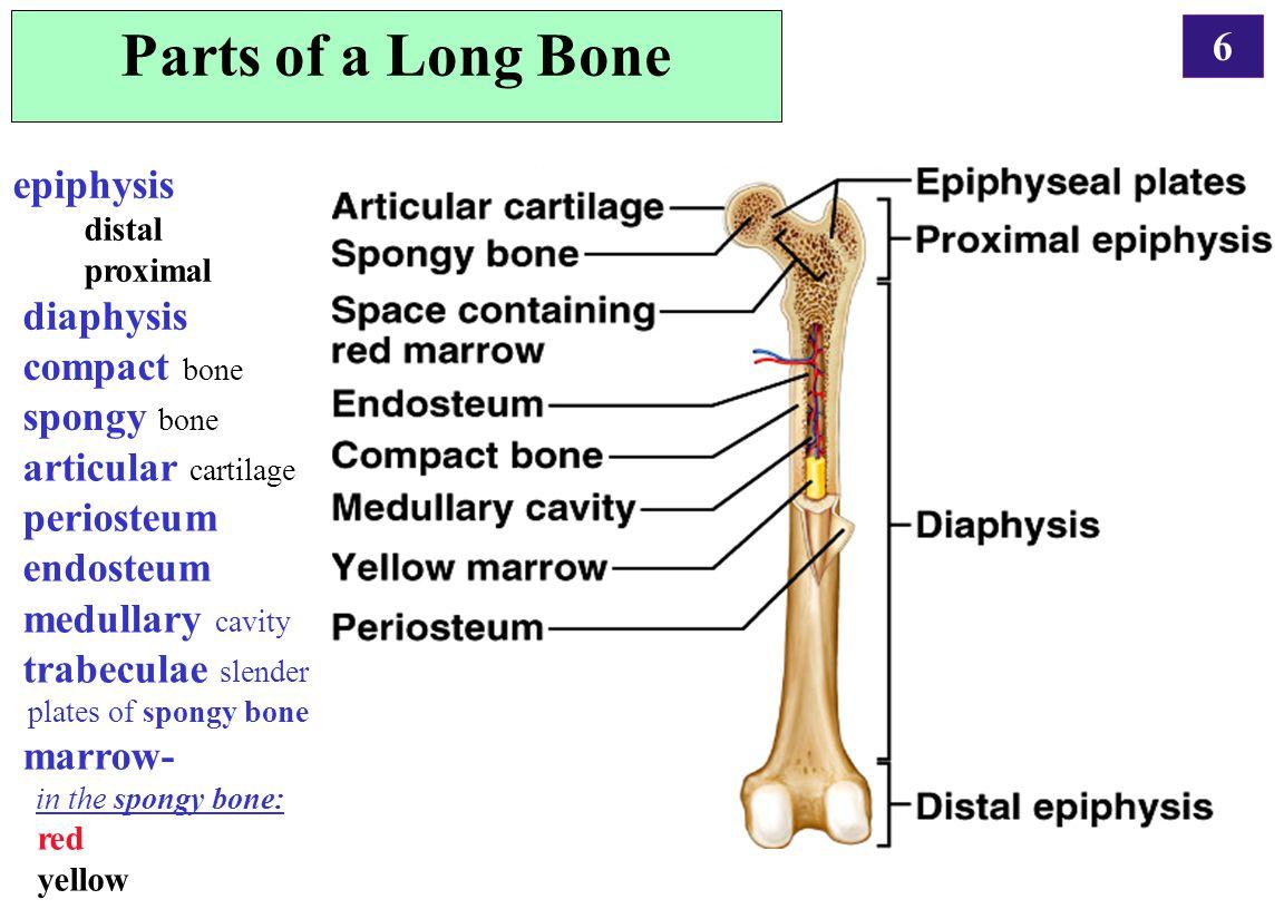 Worksheet Skeletal System Long Bones