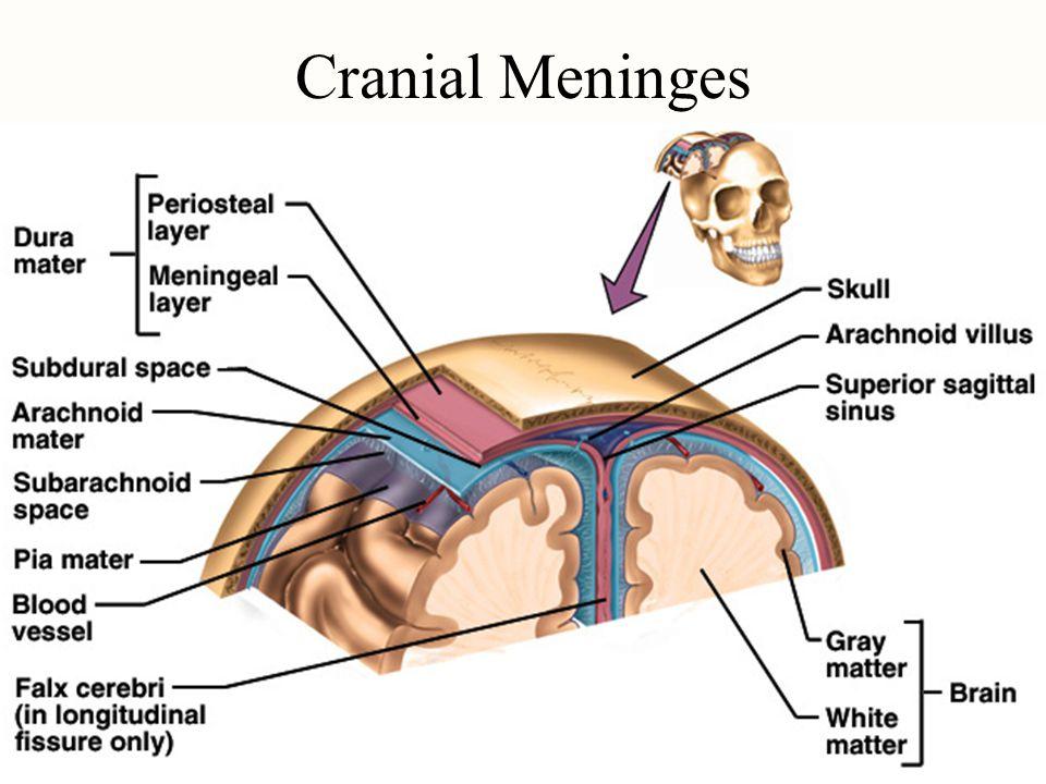 Image result for cranial meninges