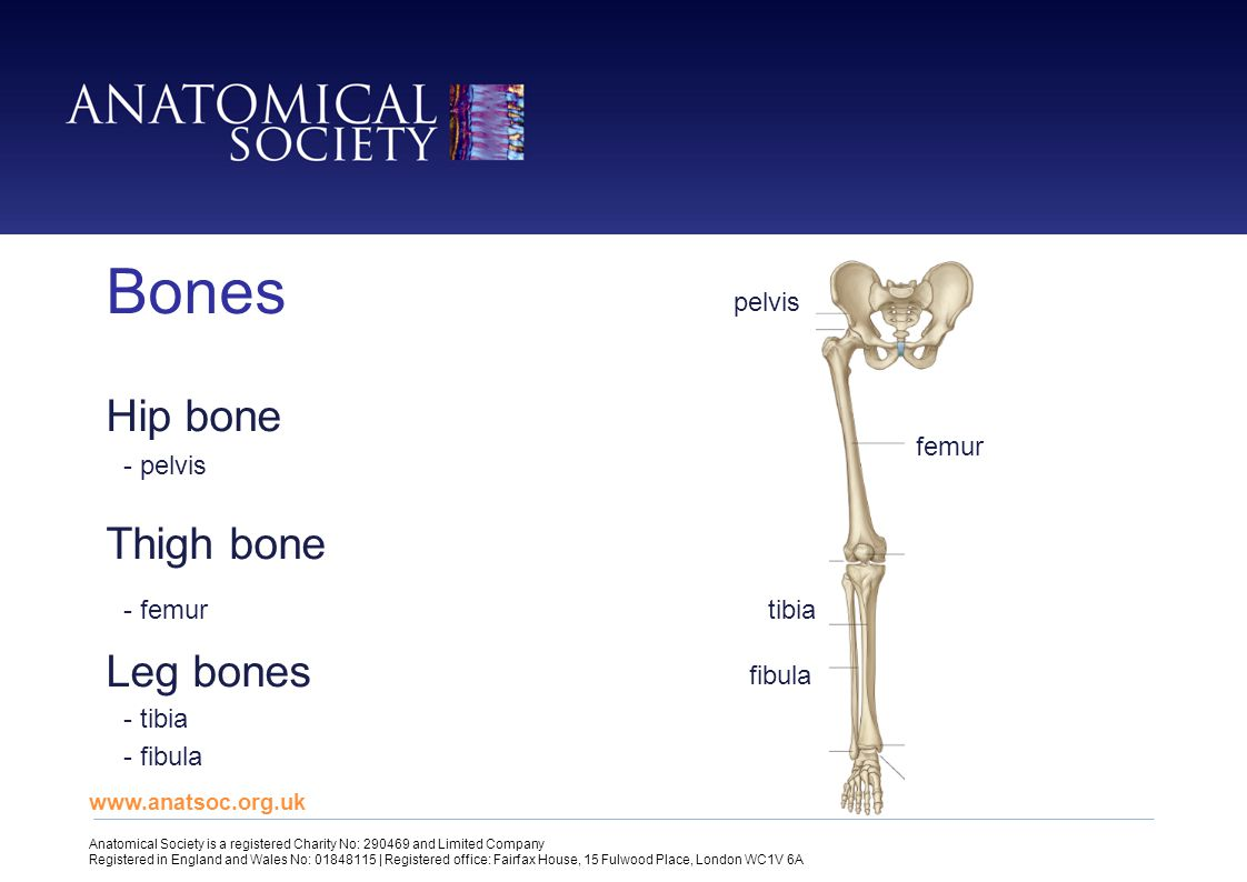Leg Bones Worksheet