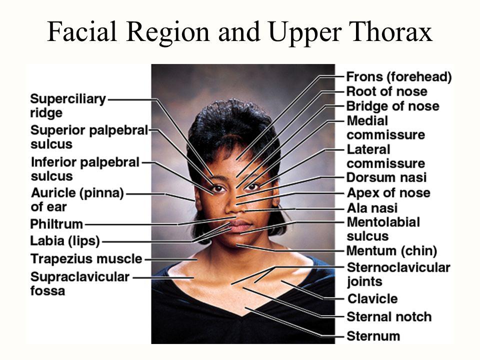 Surface Anatomy Face Area