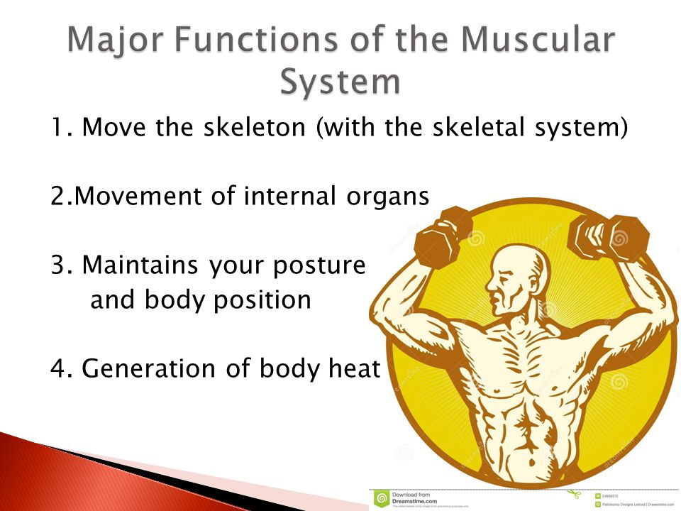 Muscular System Major Functions Of The Body Heat