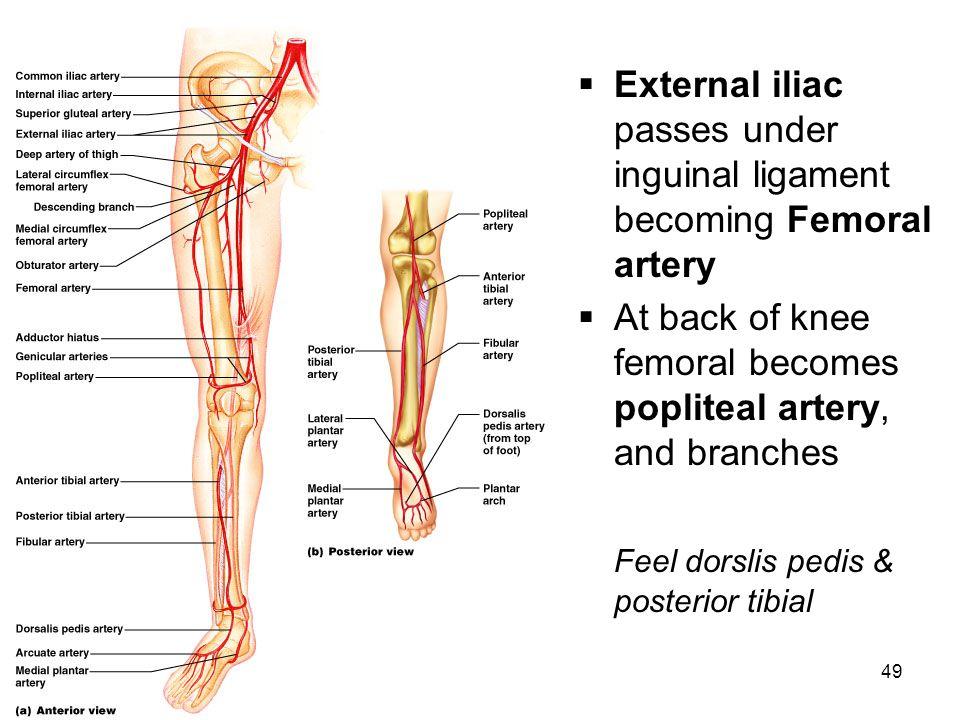 Anatomy Femoral Run Off