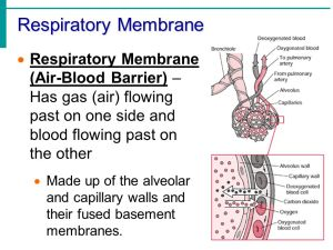 Chapter 13 – Part 1 The Respiratory System  ppt download