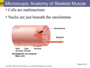 Objective 3 Describe and diagram the microscopic structure