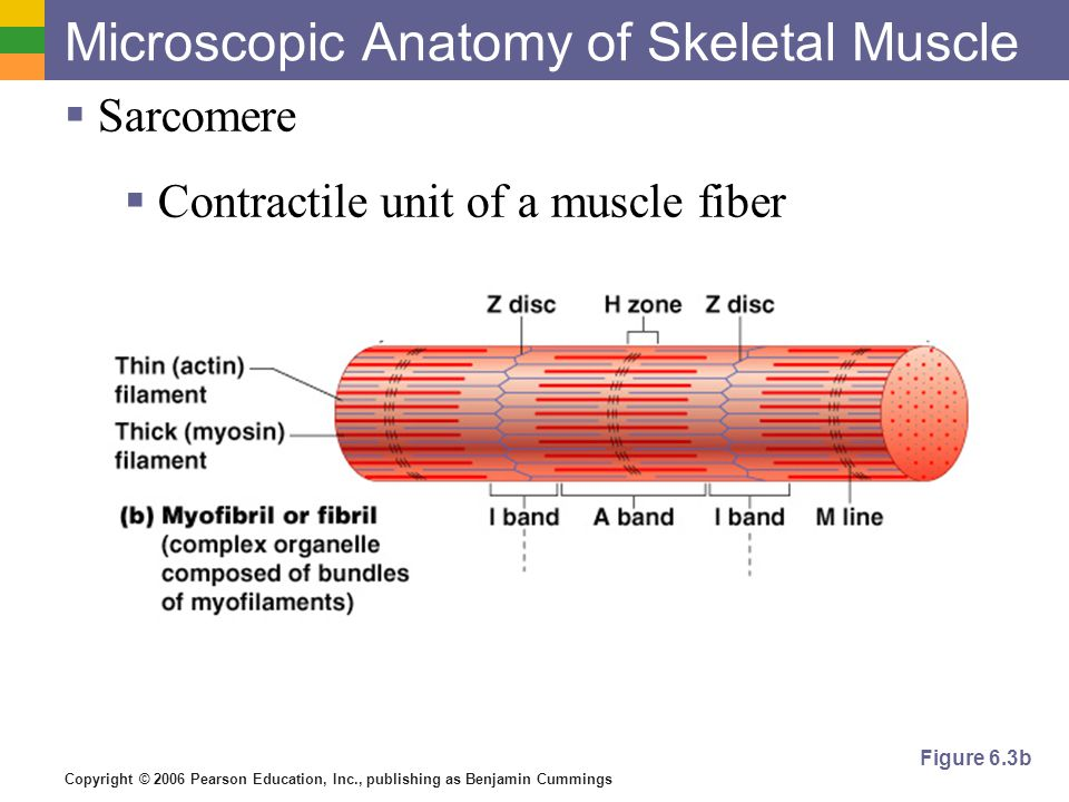Striated Labeled Skeletal Muscle
