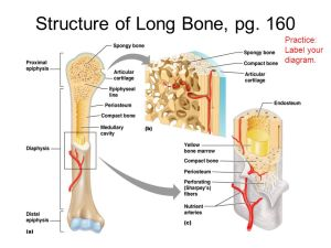 Chap 6 Bones & Skeletal Tissue  ppt video online download