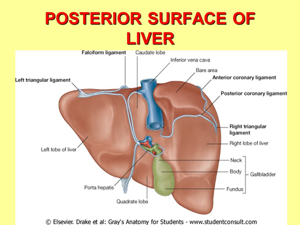 Liver Anatomy Caudate Lobe