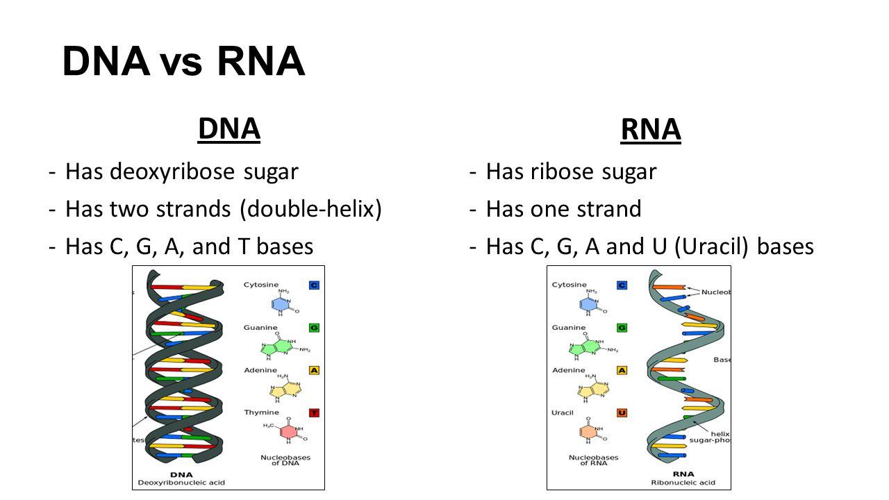 Dna And Rna Venn Diagram - General Wiring Diagram