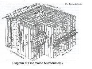 Softwood Microanatomy  ppt video online download