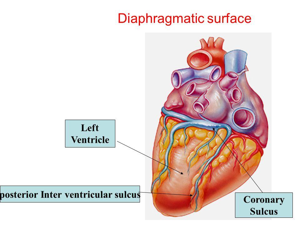 Coronary Sinus Anatomy And Physiology