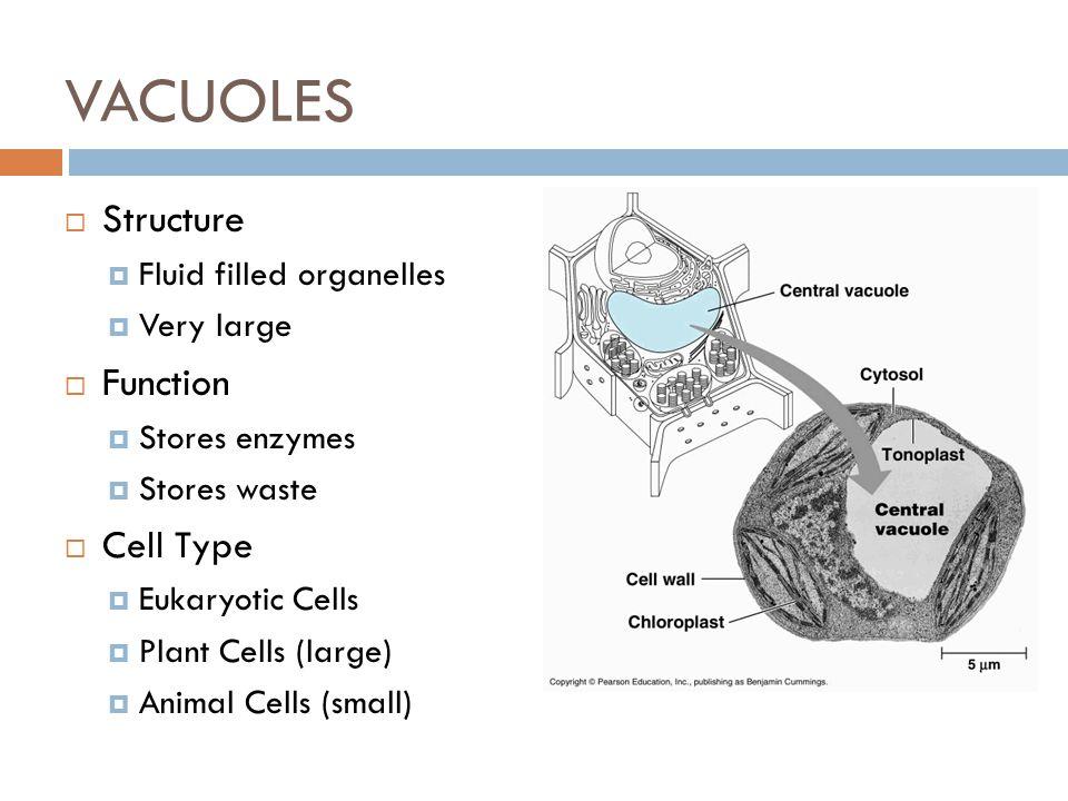 Prokaryotic Cell Diagram Functions Anatomy