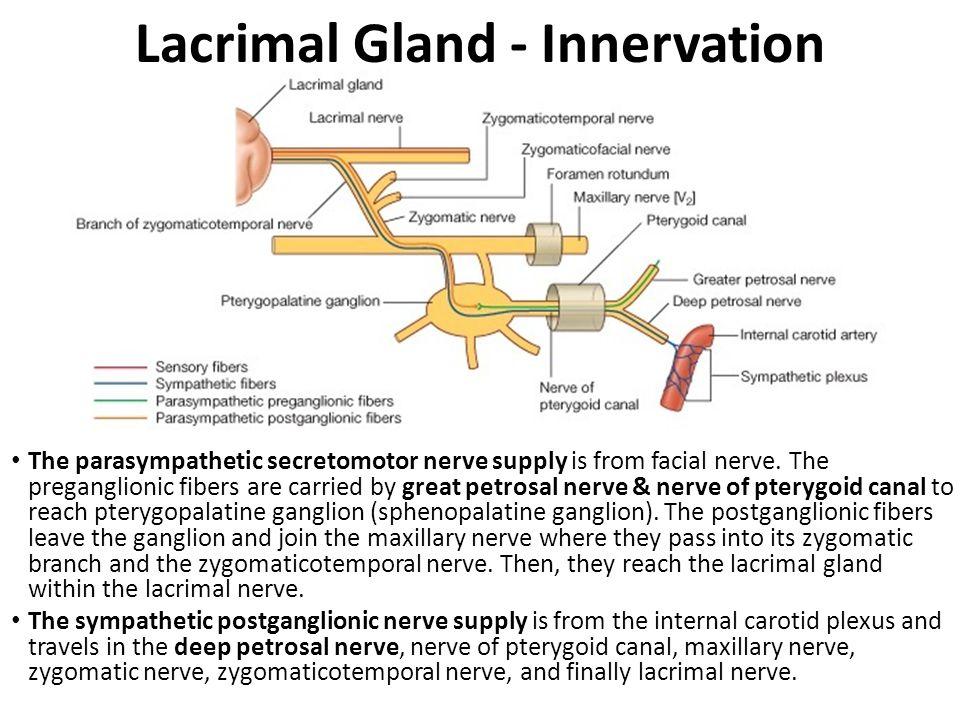 Image result for innervation of lacrimal gland