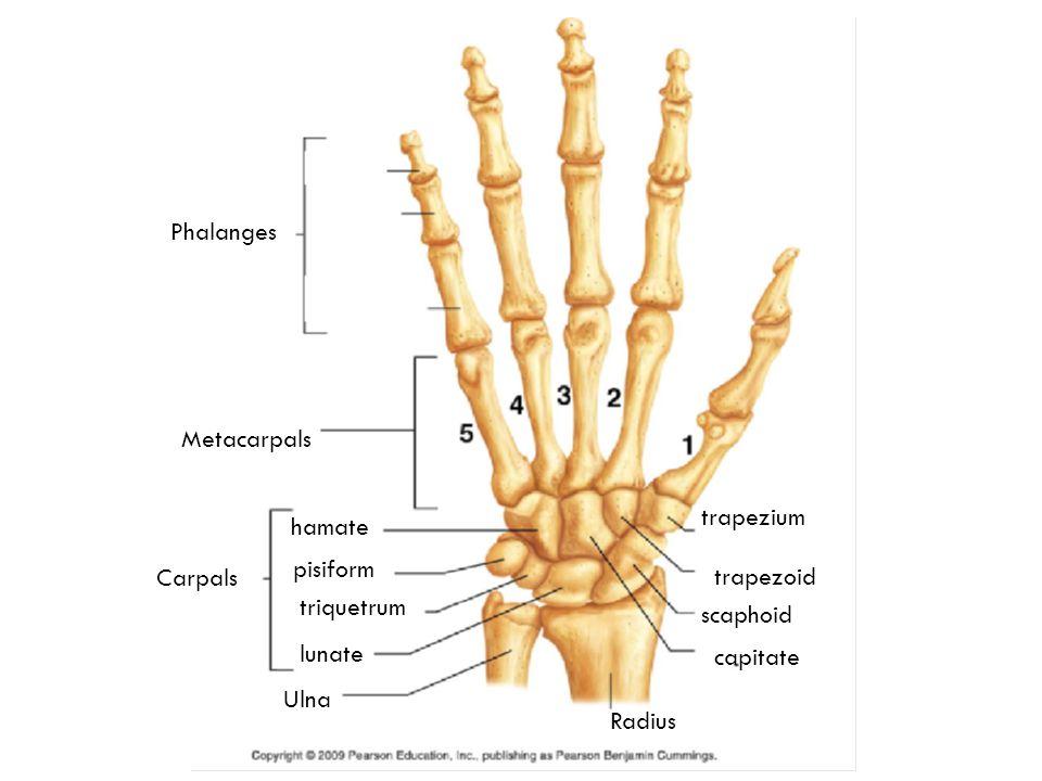 Wrist Bones Styloid Anatomy