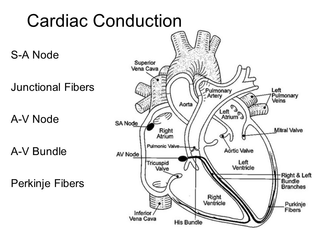 Heart Actions Cardiac Cycle One Complete Heartbeat The