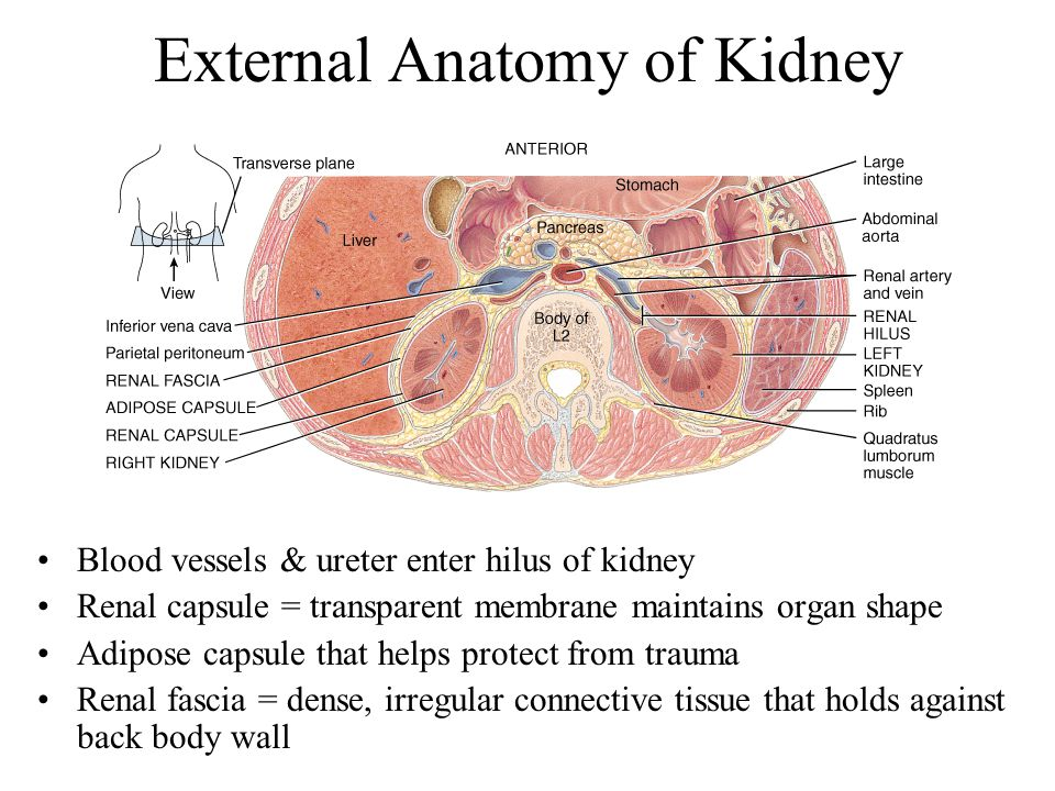 Between Kidneys Organ
