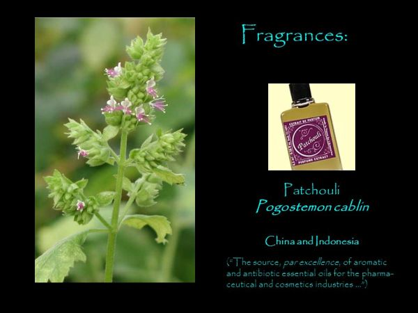 Lamiaceae (Labiatae) The Mint Family. - ppt video online ...