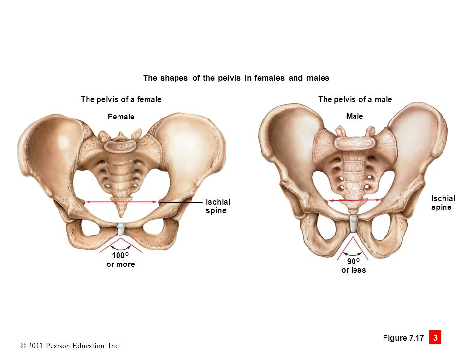 The Sacrum And Coccyx Anterior View Of The The Features